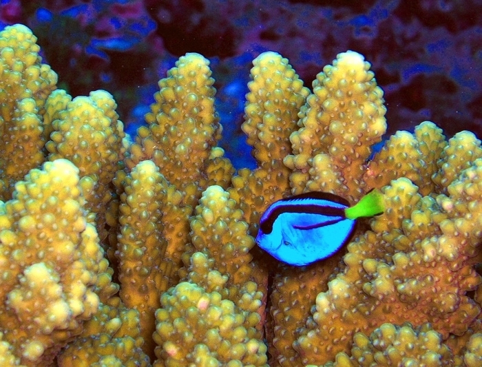 Blue tang fish in front of yellow coral at Pacific Remote Islands National Wildlife Refuge Complex (Credit: Jim Maragos/USFWS)