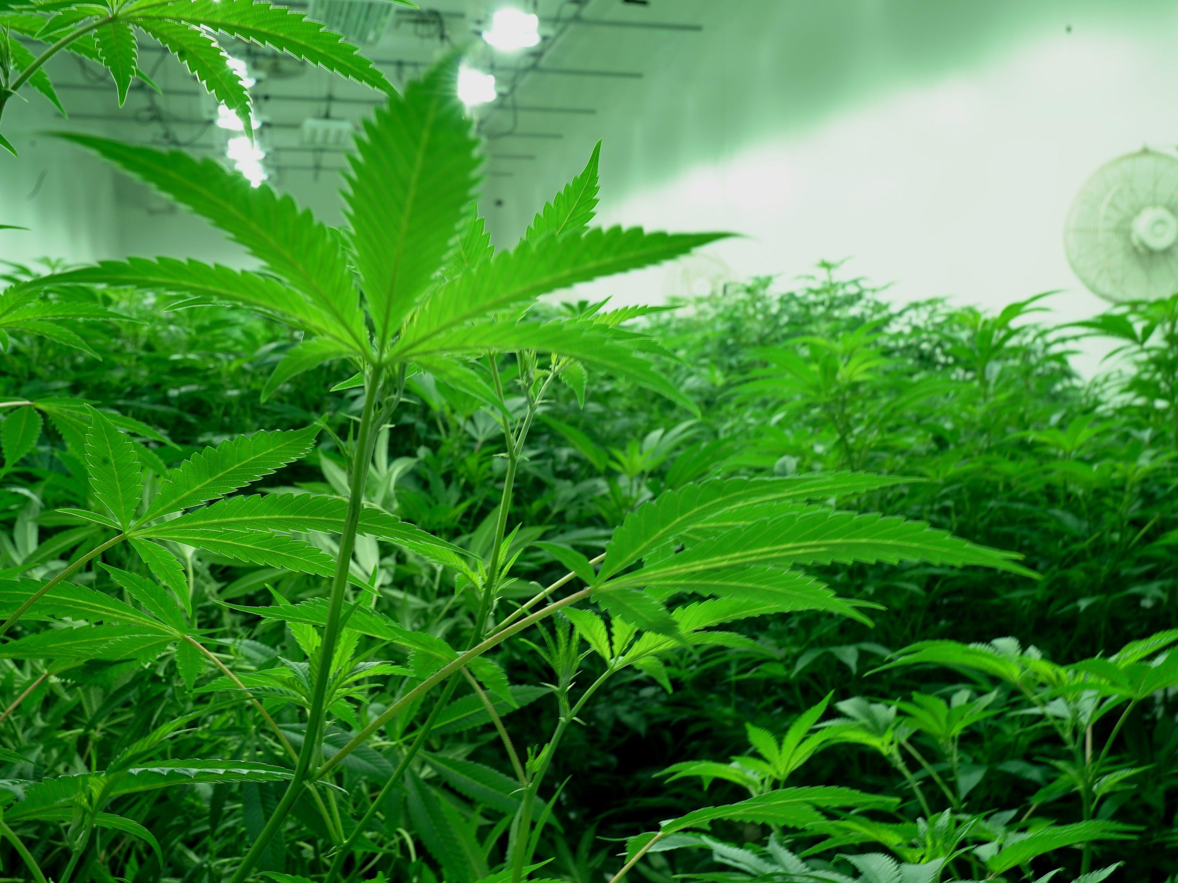 How legal pot is reviving a rural Illinois city named for