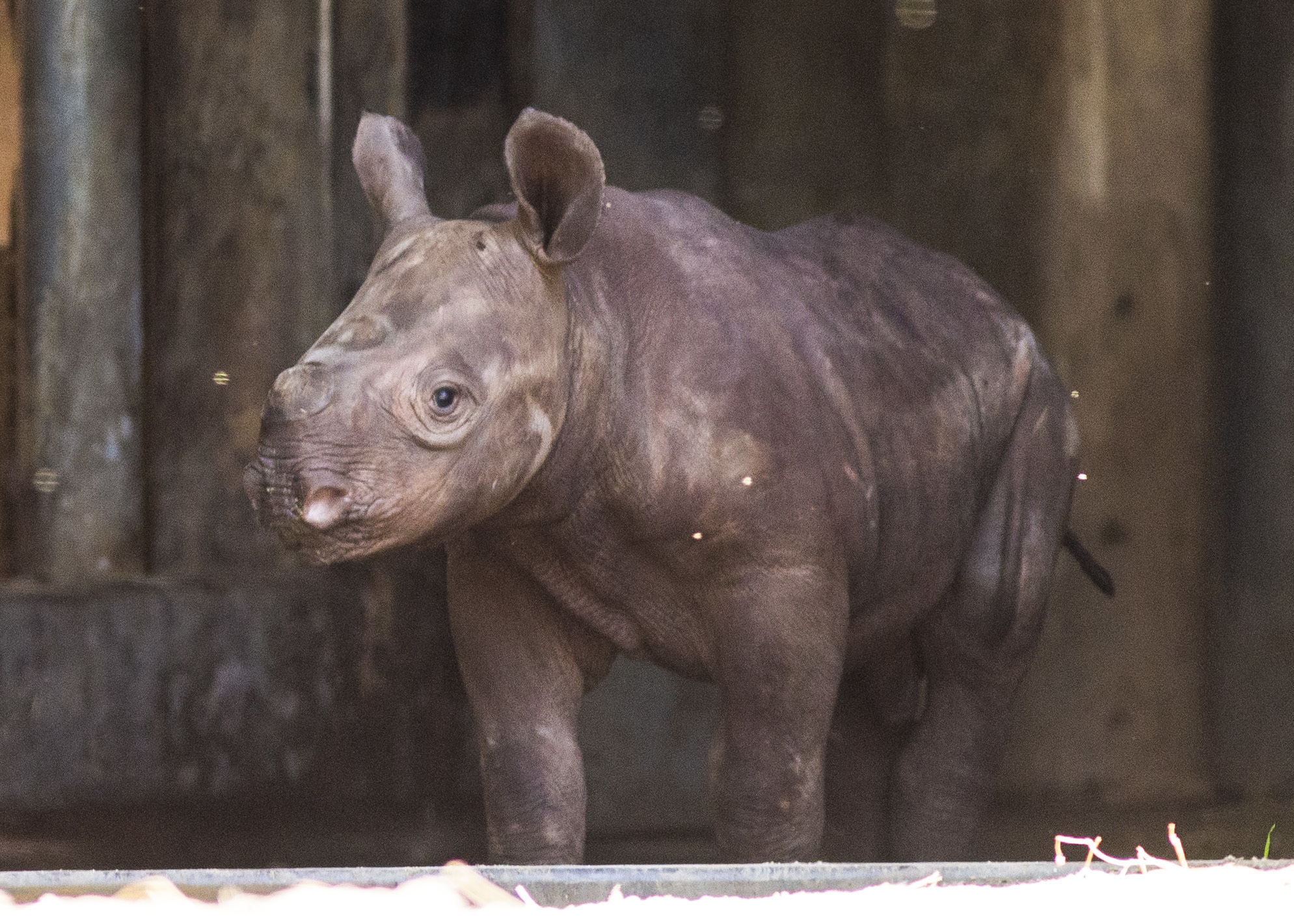Baby rhino to make his public debut at Lincoln Park Zoo
