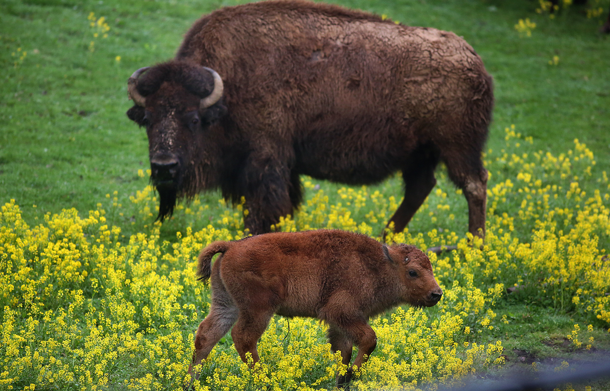 A male bison was born in 2016 at the Minnesota Zoo, which works with the state DNR to expand the Minnesota Bison Conservation Herd.