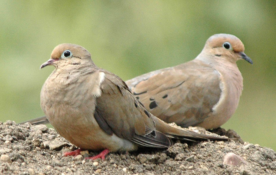 Mourning doves are a good local choice for the two doves of song fame.