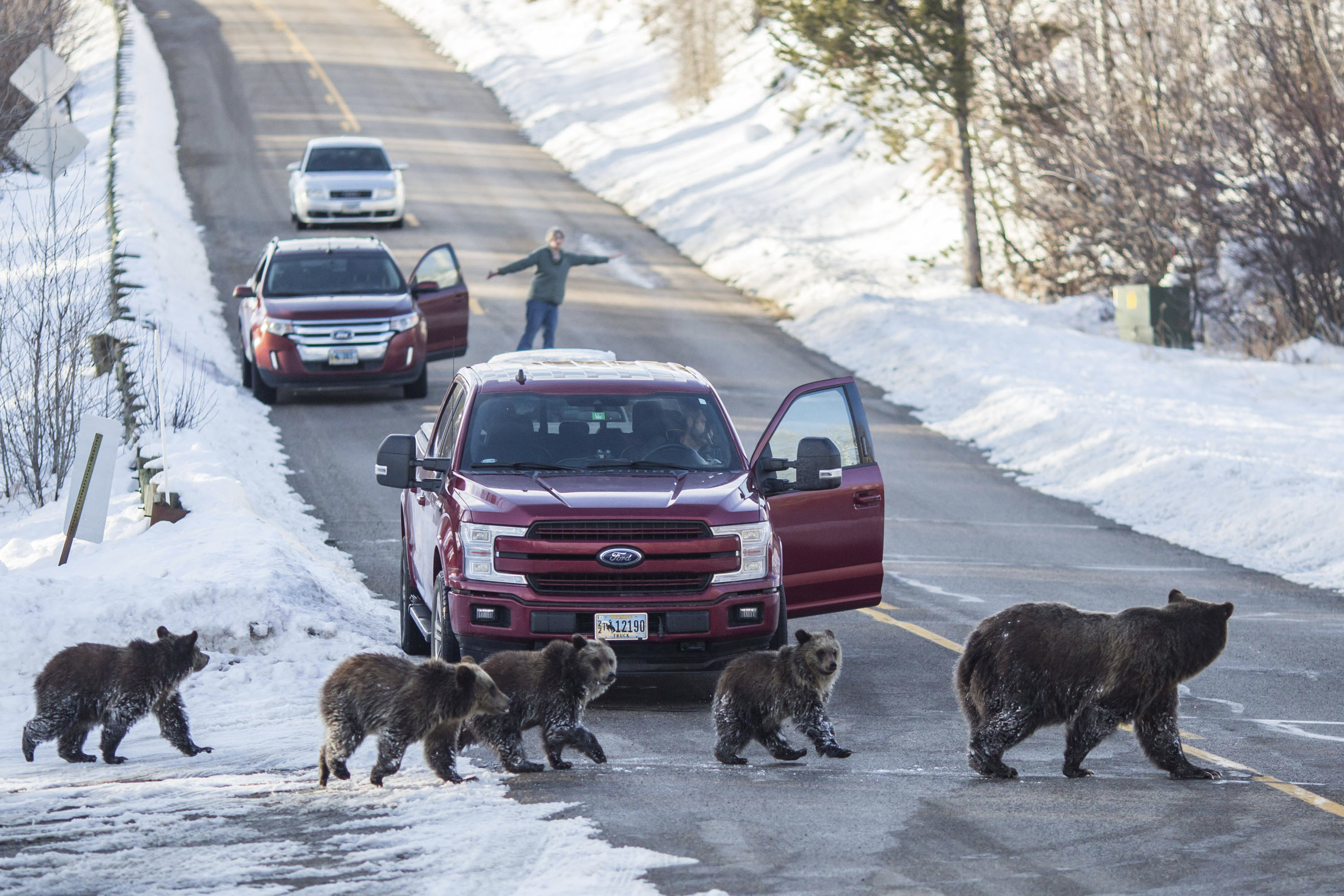A grizzly bear and her four cubs cross a road in Jackson Hole, Wyoming in November. Many people watched and followed the travels of the this particular well-known, 24-year-old bear and her cubs until they denned for the winter.