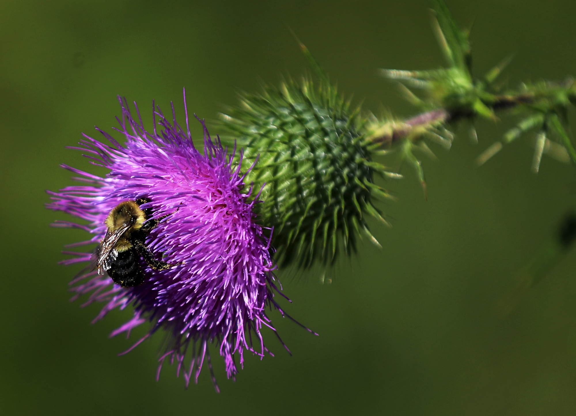 A bumble bee on a thistle flower in a meadow at the family's 10-acre residence in Scandia.