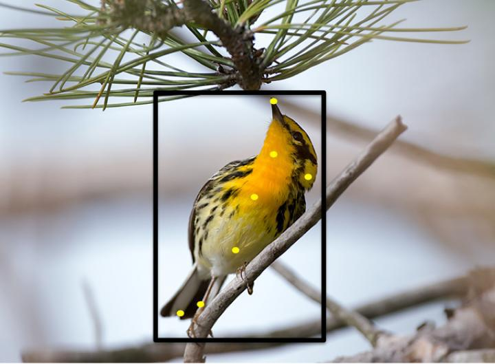 Users helped train Merlin to recognize 400 bird species, including Blackburnian warbler, shown here, by clicking on parts of the birds.