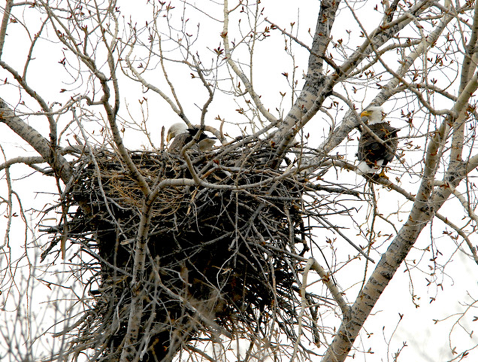 Bald eagles stay close to their nest.