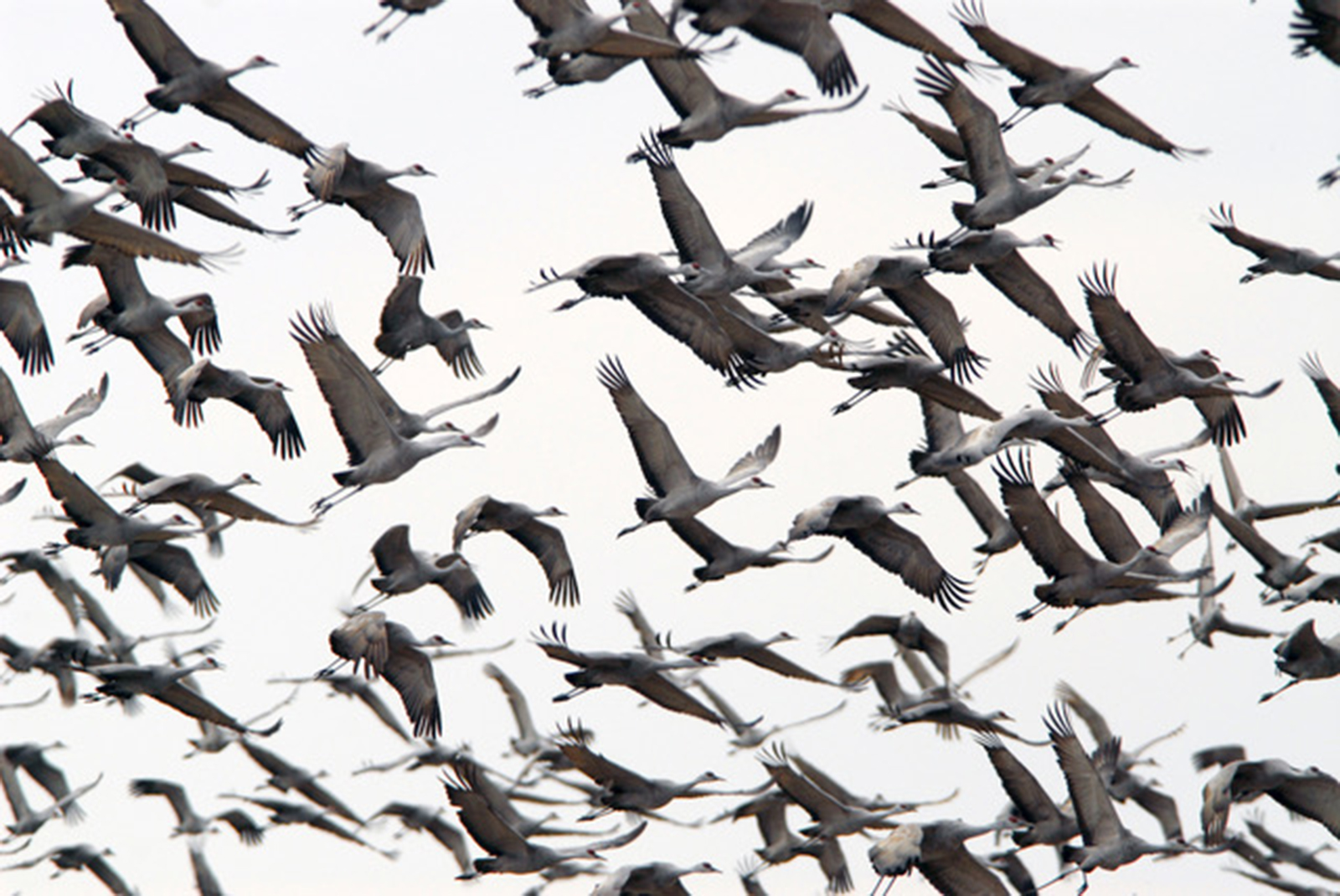 A 'dance' of sandhill cranes.