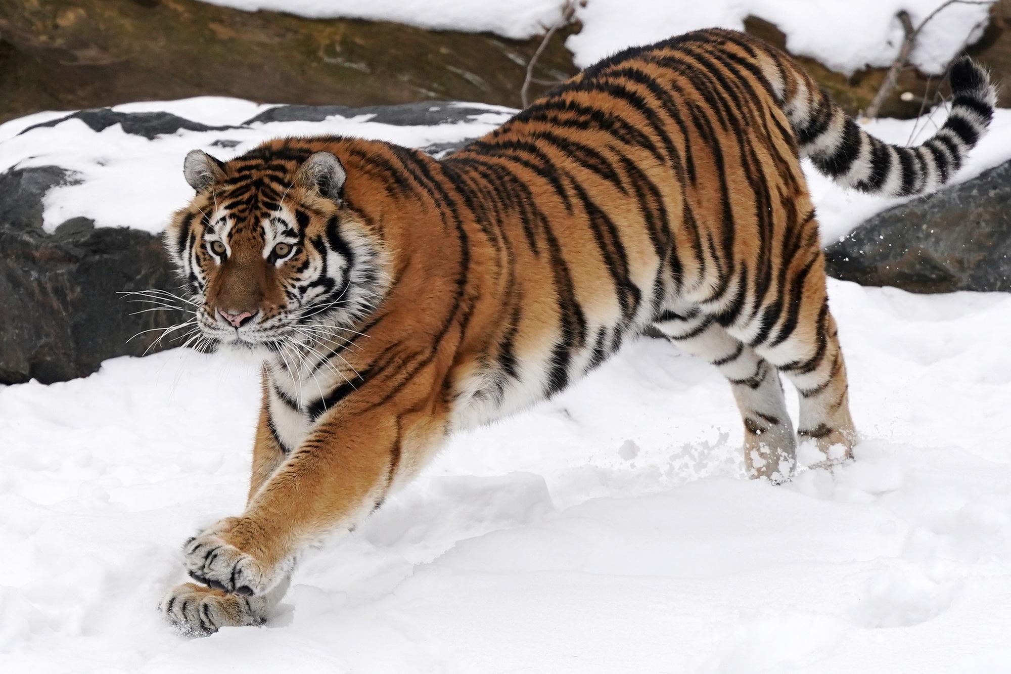 The Amur tiger ran around in the snow.