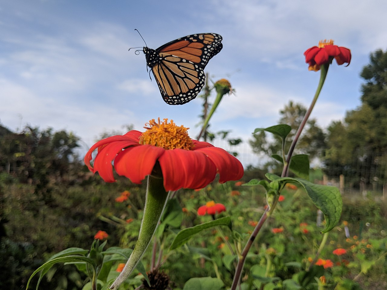 1280px-Monarch_butterfly_flying_away_from_a_Mexican_sunflower.0.jpg