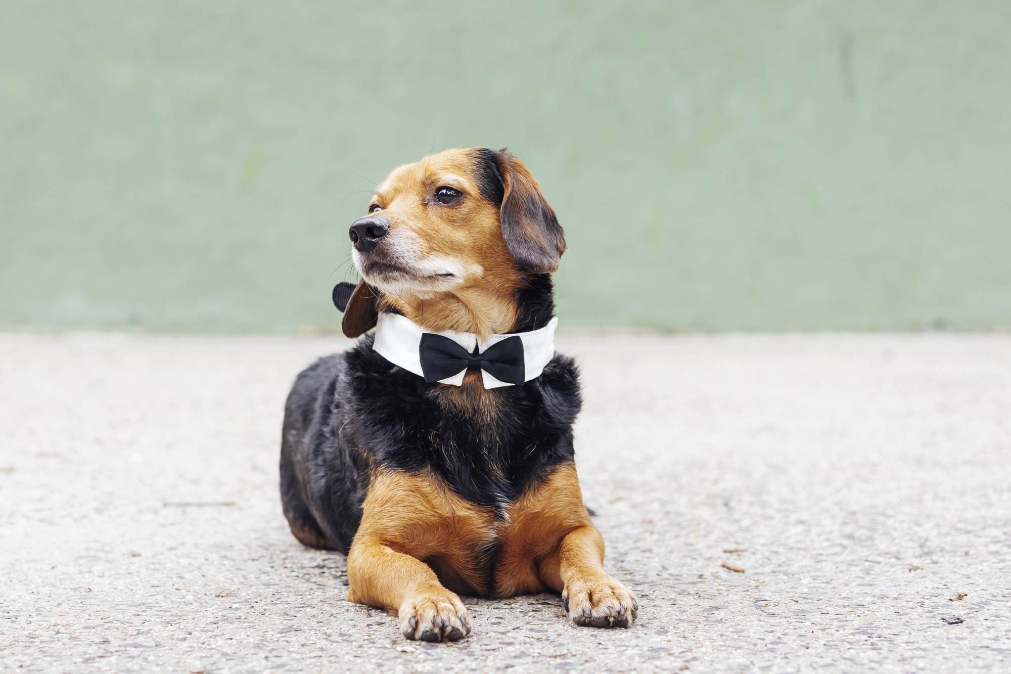 These tiny dogs are getting married and everyones invited dog wedding dog wedding ombrellifo Image collections