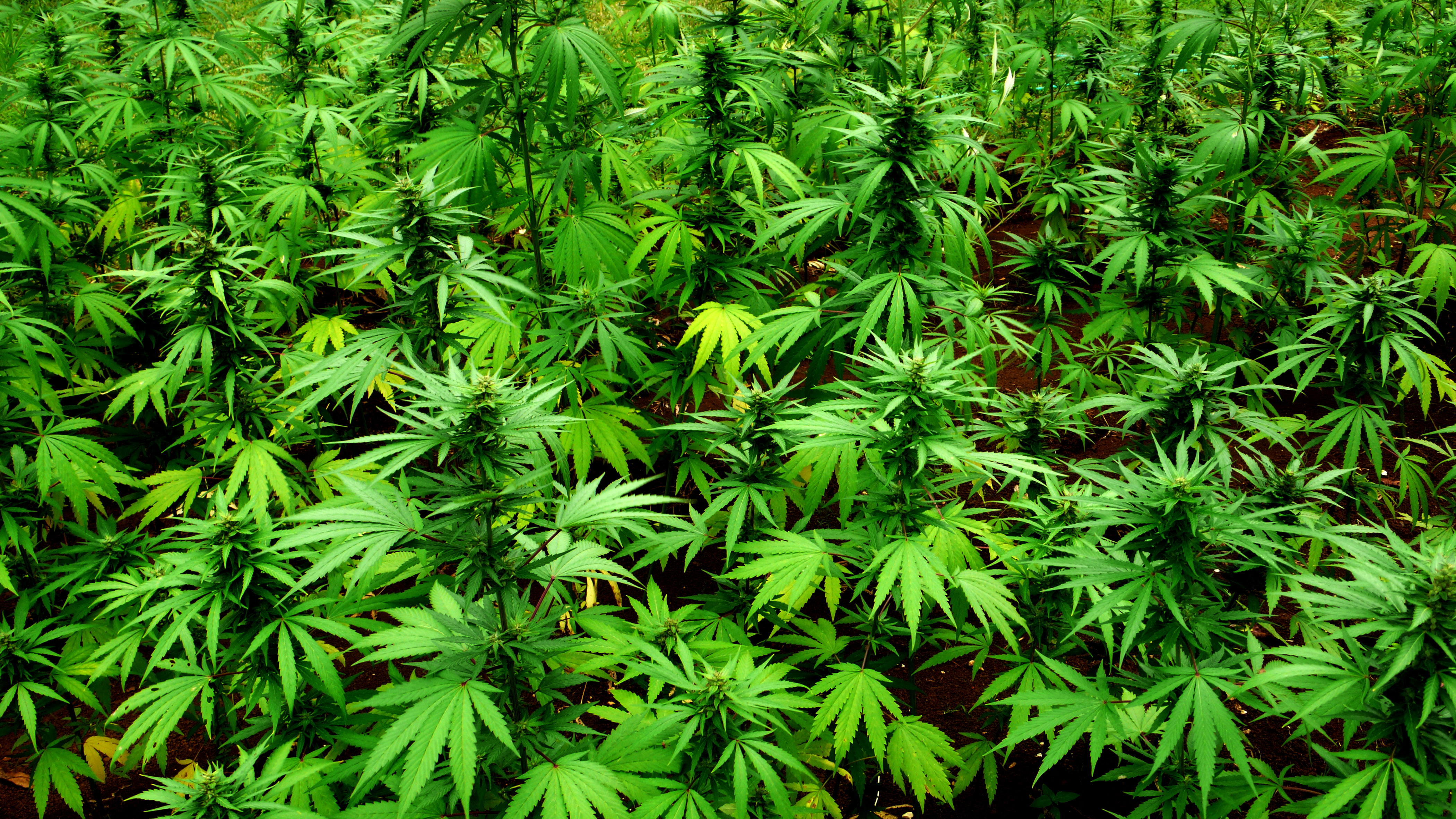 a description of marijuana a drug obtained from dried and crumpled parts of the ubiquitous hemp plan Brezplačne hip-hop delavnice za otroke brezplačne hip-hop delavnice za otroke in mlade now that smartphones have become well-nigh ubiquitous and.