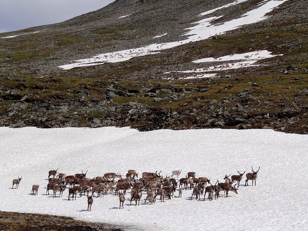 the verge review of animals the reindeer the verge