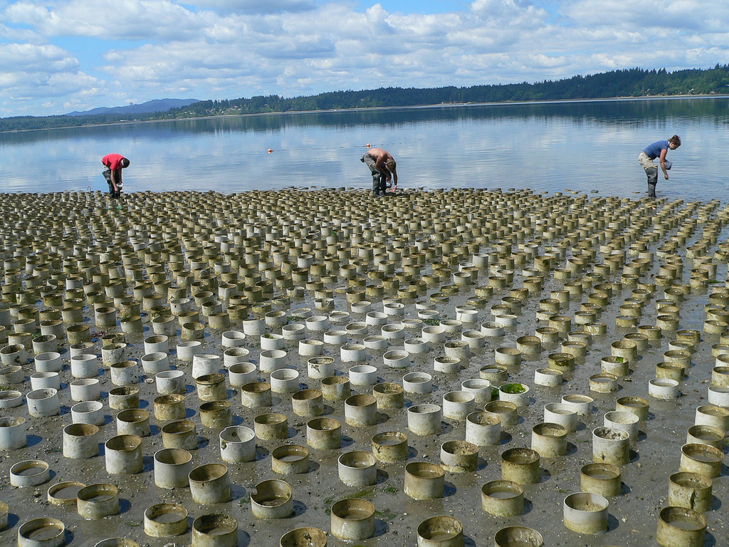 Everything you need to know about geoducks eater for Taylor fish farm