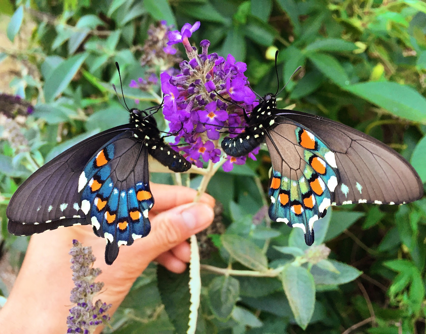 how one man repopulated a rare butterfly species in his backyard vox