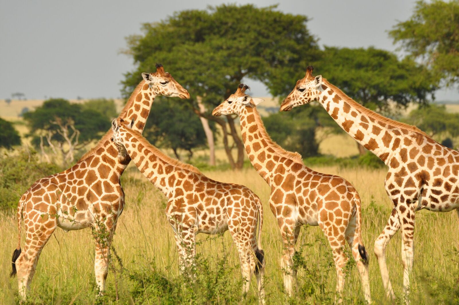 surprise there are four giraffe species not just one the verge