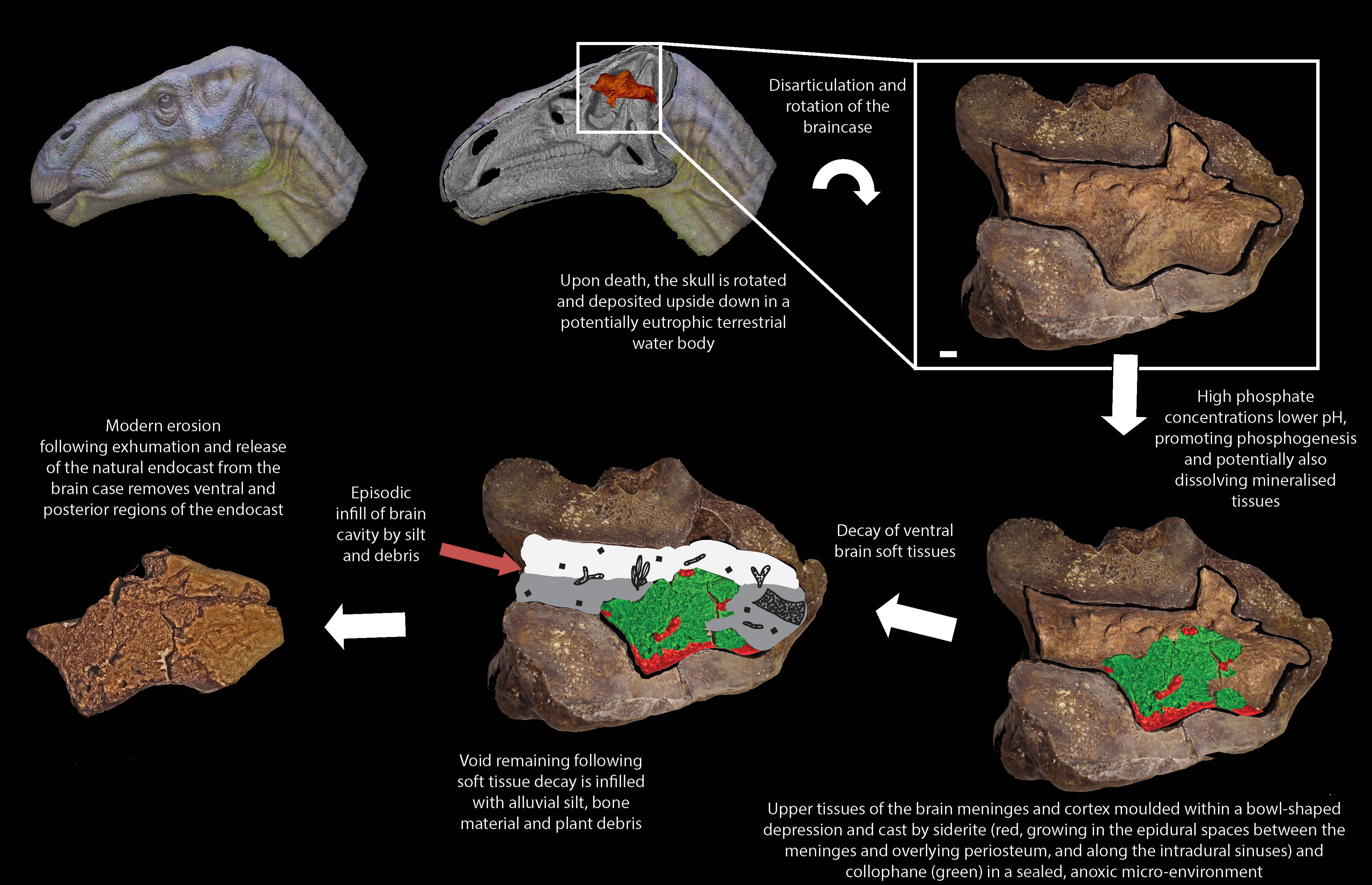 This misshapen pebble is actually the first dinosaur brain fossil this diagram shows how the fossil was formed university of cambridge pooptronica