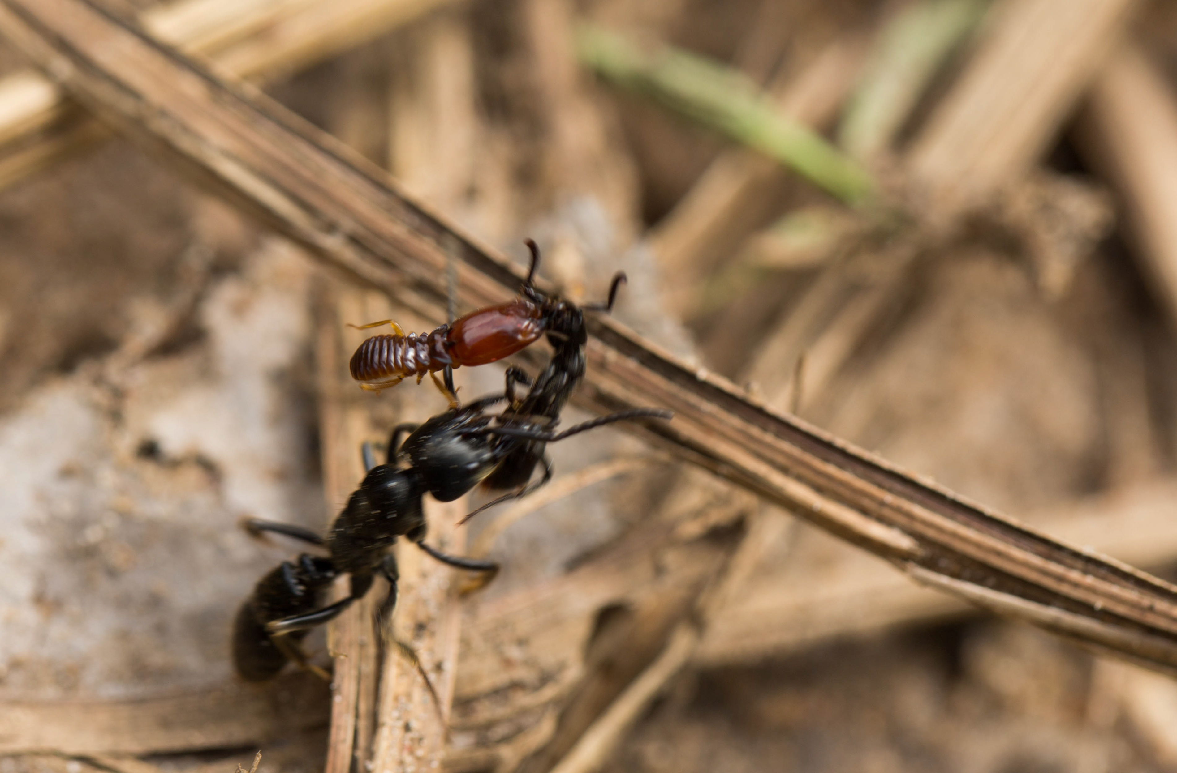 this termite hunting ant rescues its injured friends to benefit