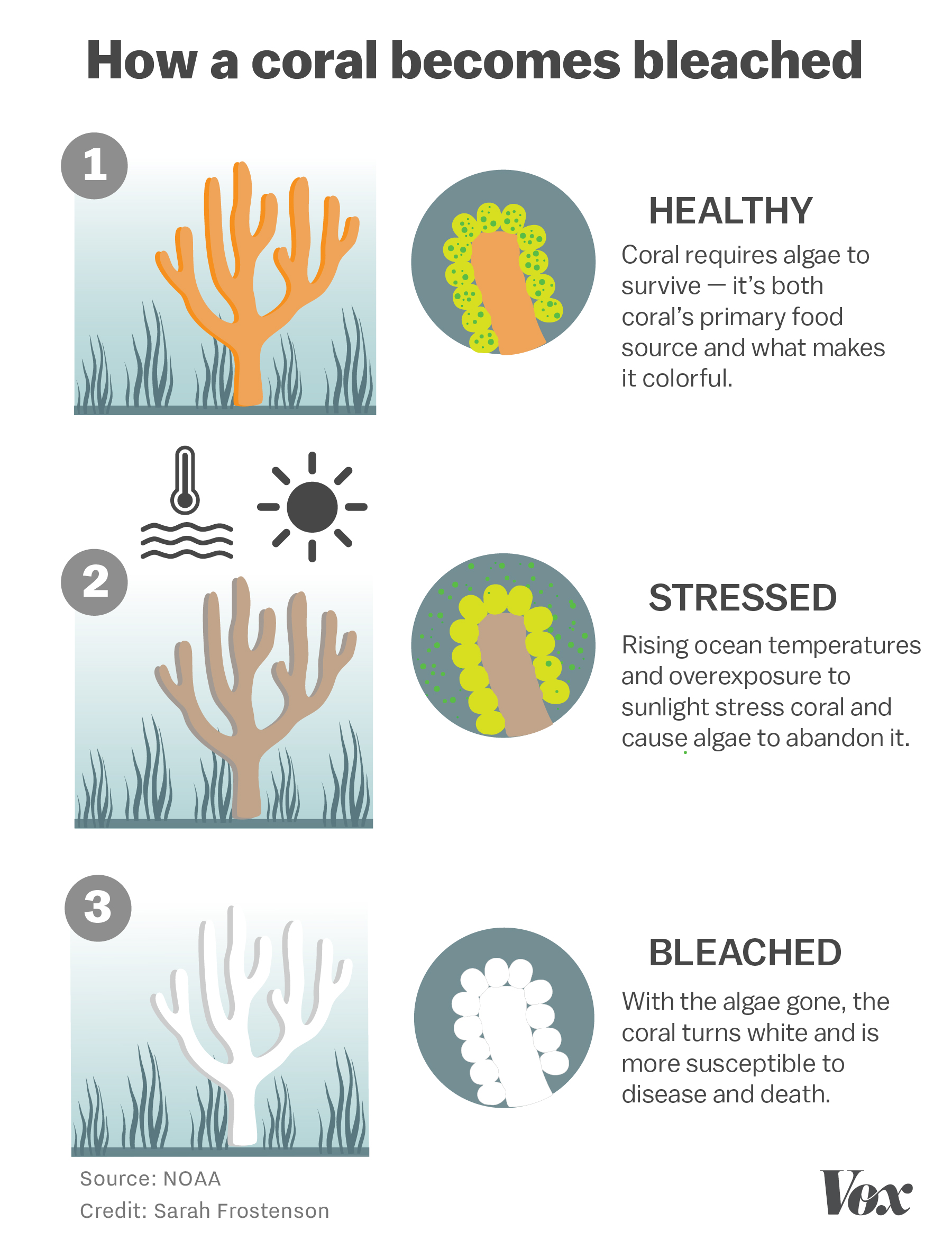 Chart showing the process for how a coral is bleached.