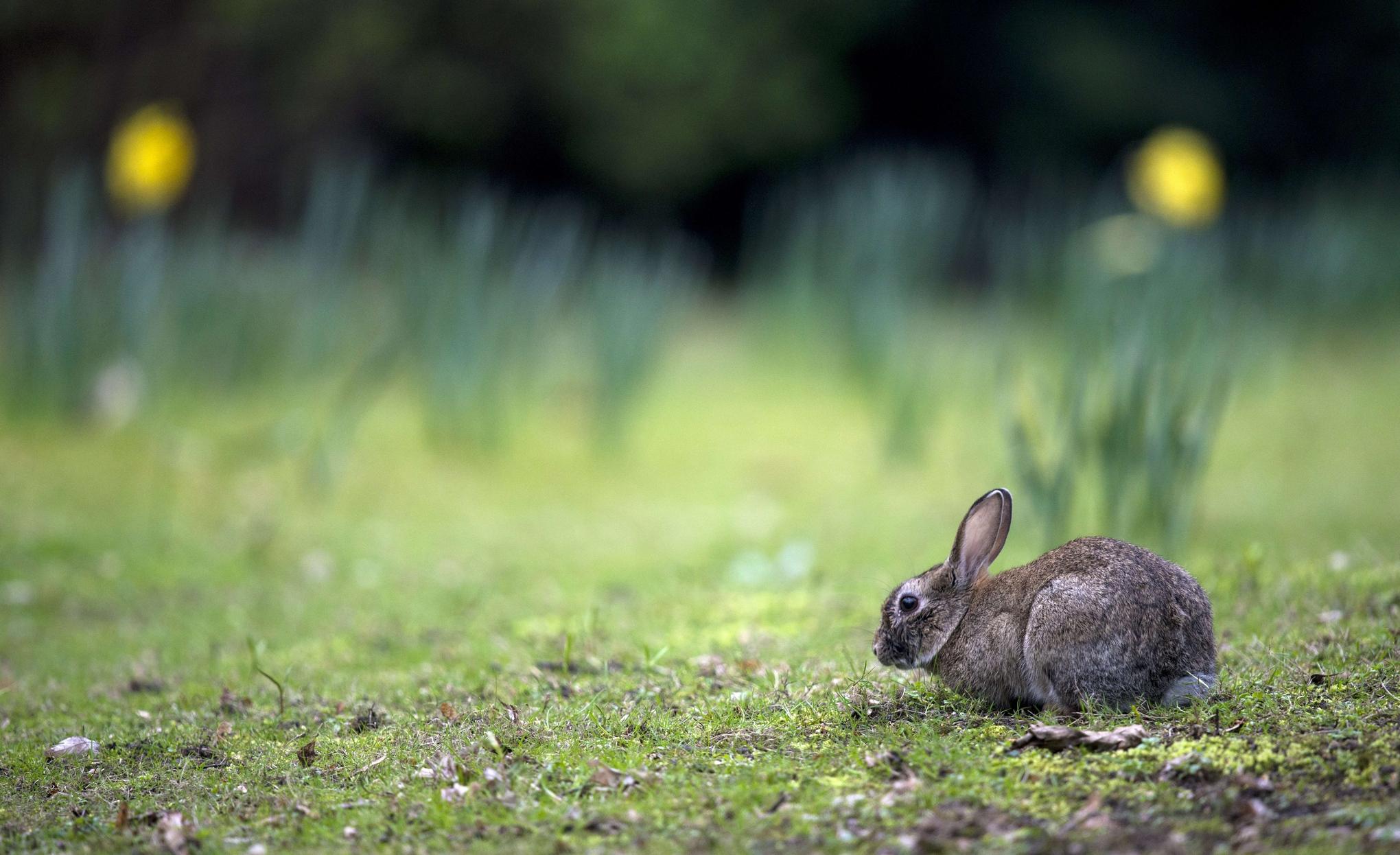 A rabbit is pictured on March 28, 2014 in Berlin's Tiergarten park.