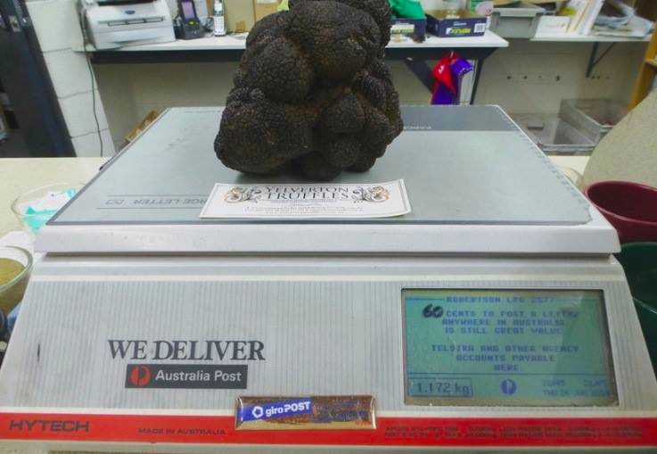 Australia's Largest-Ever Truffle Weighs 2.5 Pounds