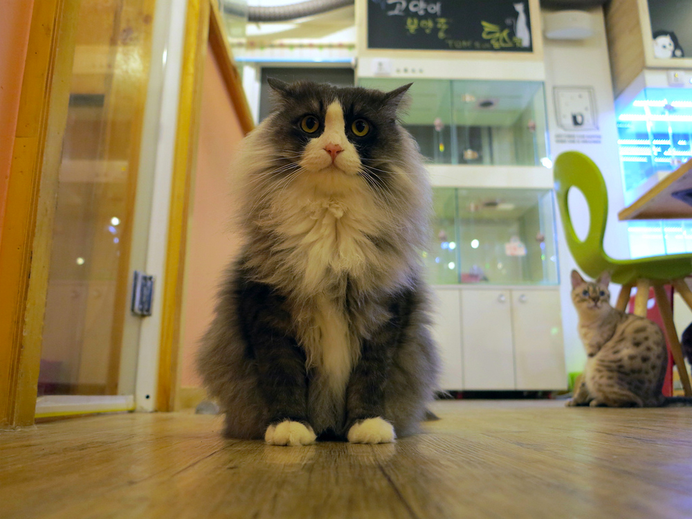 Another Cat Cafe Is Heading to the Bay Area