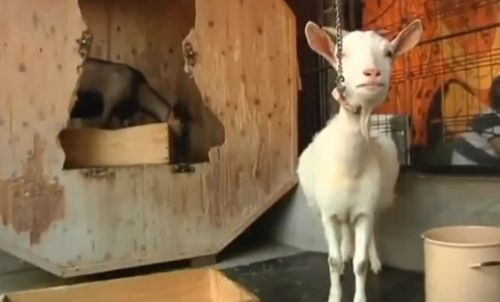 Watch Goats Bring 'Wow Factor' to a Japanese Cafe