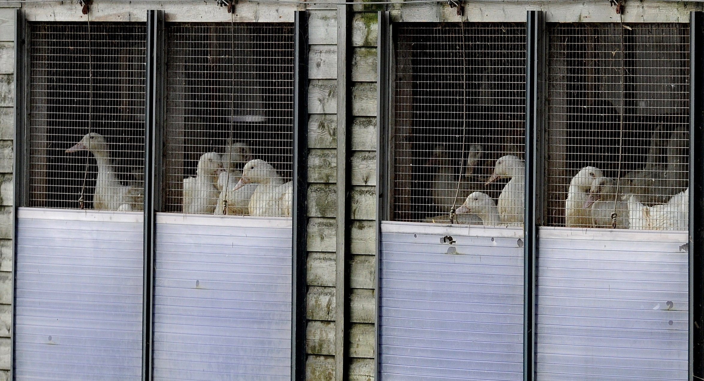 Ducks in a shed on a farm near Yorkshire, England where a strain of bird flu has been confirmed.