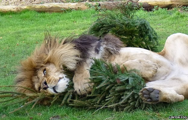 The best way to recycle your Christmas tree? Give it to a lion. Or a goat.