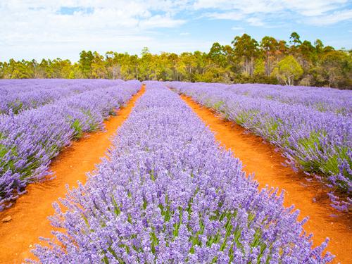 Tara Foley from Follain spent time in lavender fields; Image via Shutterstock