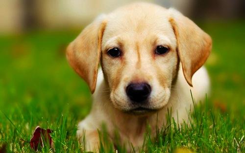 """Image via <a href=""""http://all-puppies.com/16-cute-labrador-retriever-puppies-wallpapers.html/labrador-retriever-puppies-wallpapers-3"""">All Puppies</a>"""