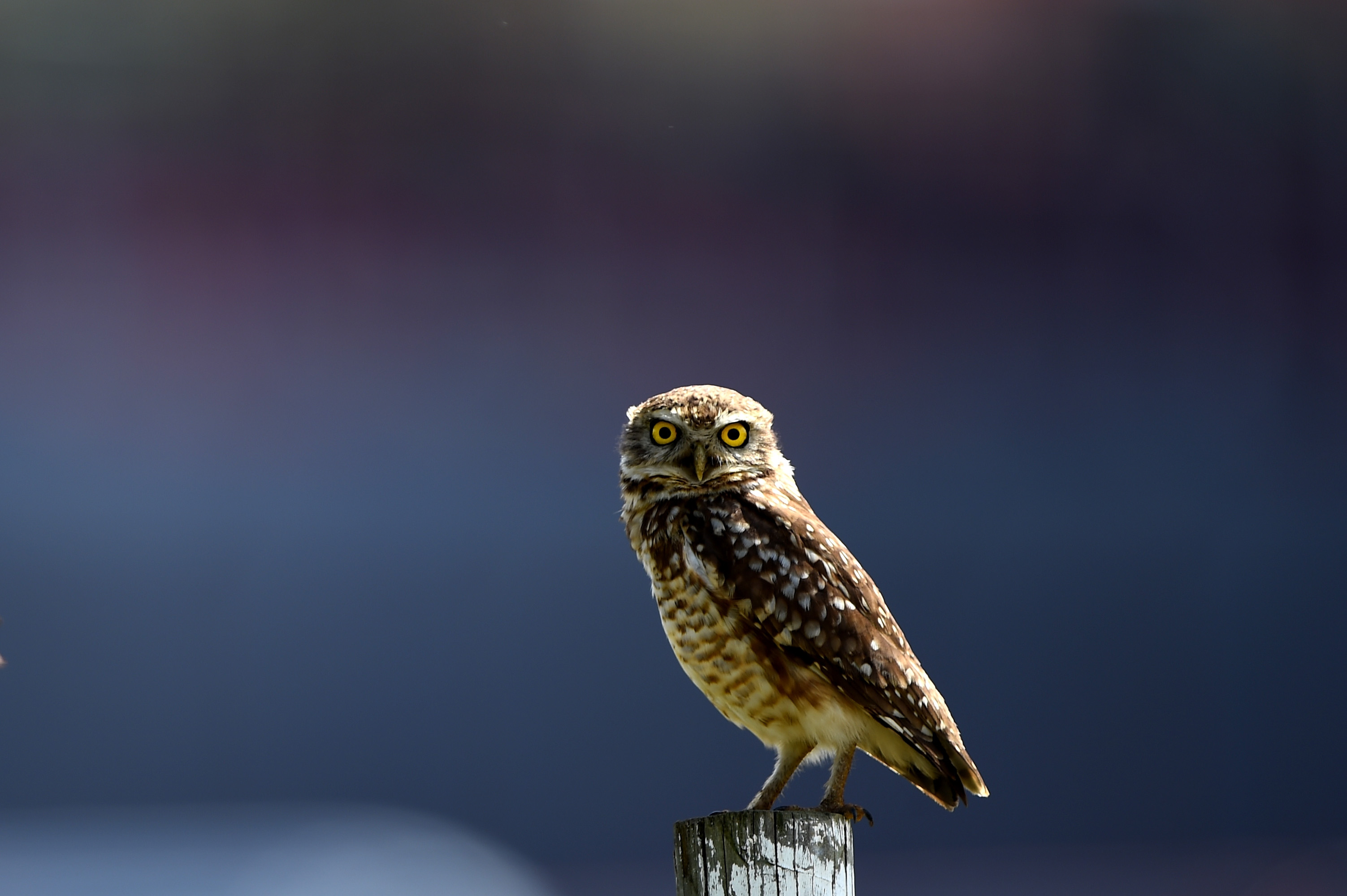 What time does the superb owl start? Usually night (they're nocturnal).