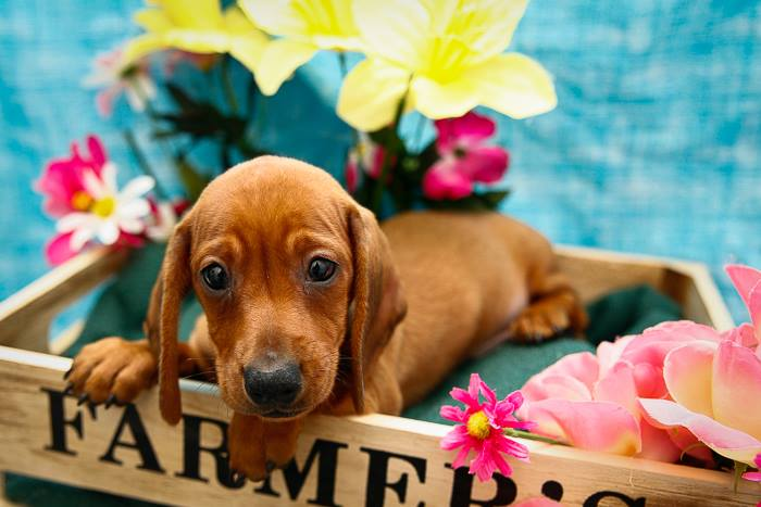 """The Dachshund which was stolen on Monday from Petland. Photo: Facebook/<a href=""""https://www.facebook.com/petlandpembrokepines/timeline"""">Petland</a>"""
