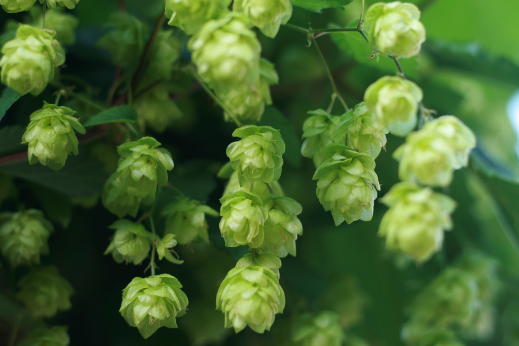 IPA Lovers Beware: Beer Prices Could Skyrocket Next Year Thanks to Drought