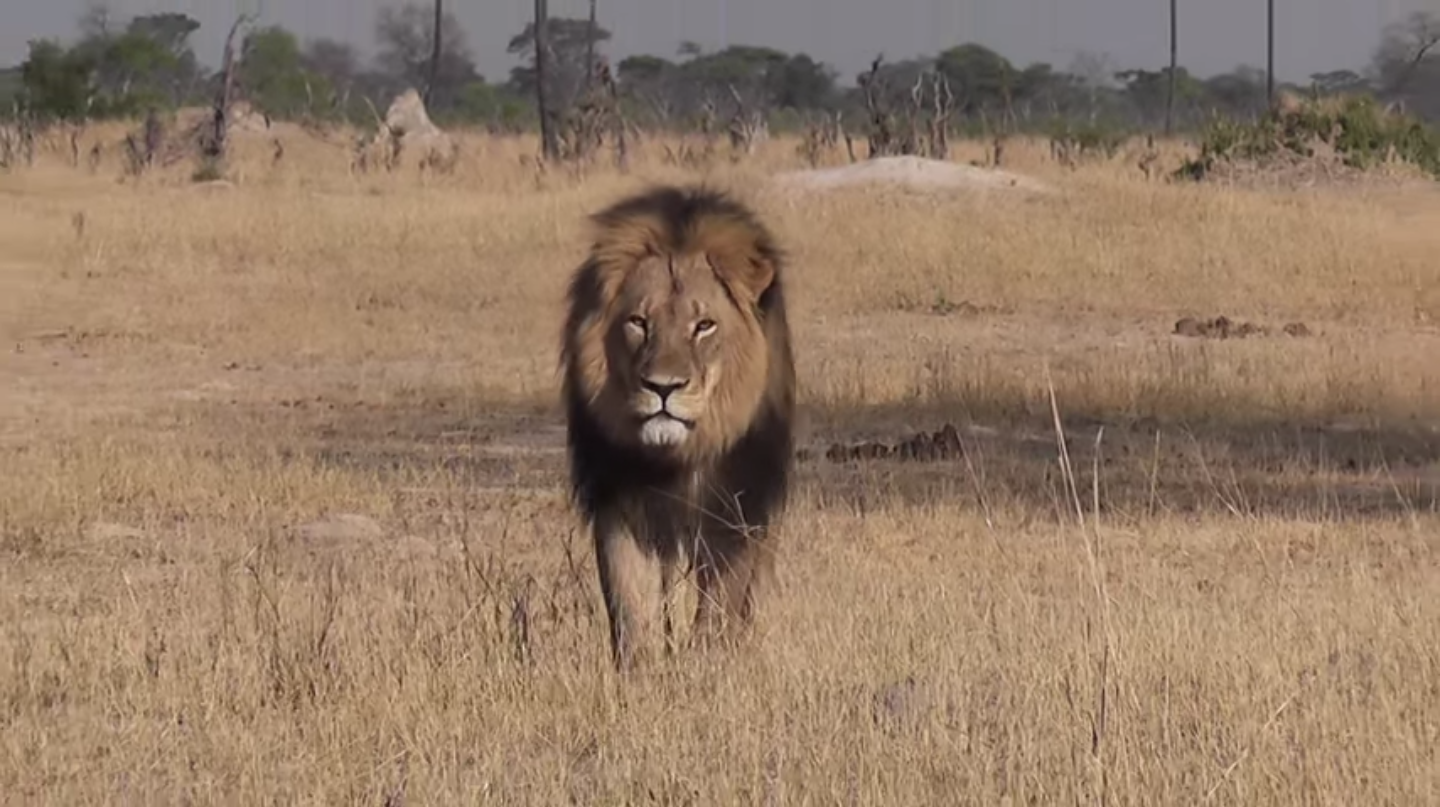 Cecil the lion: The killing that's enraged the internet, explained