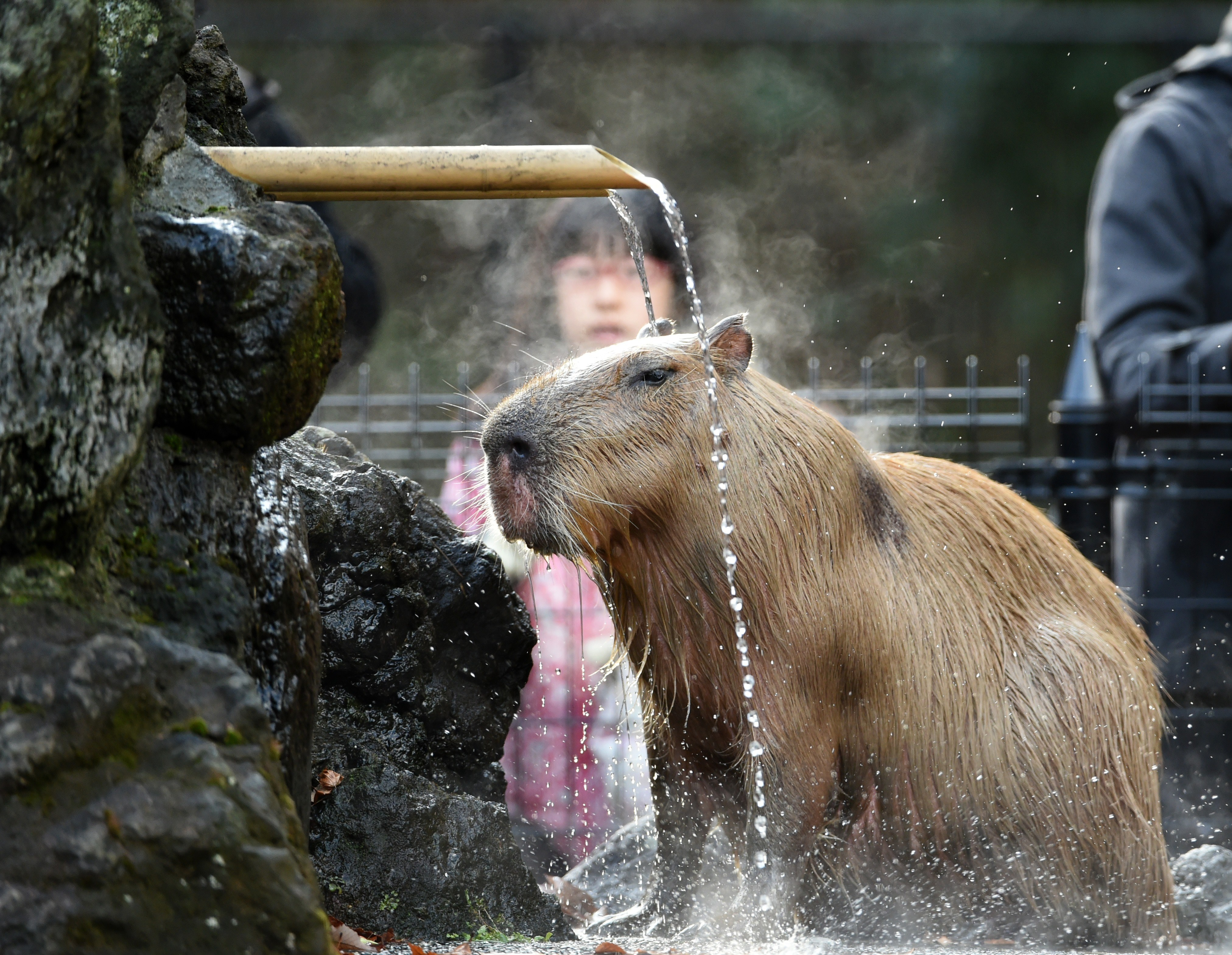 The Verge Review of Animals: the capybara