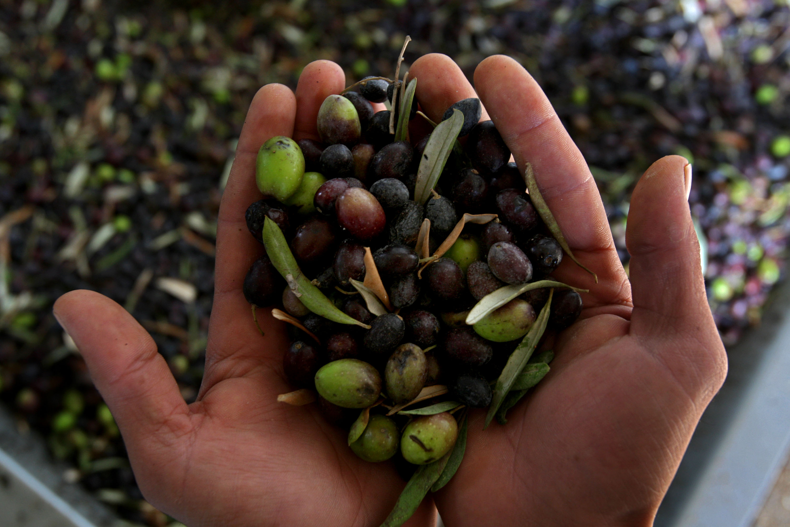 Olive Oil Fraud: What's Really in the Bottle in Your Kitchen?