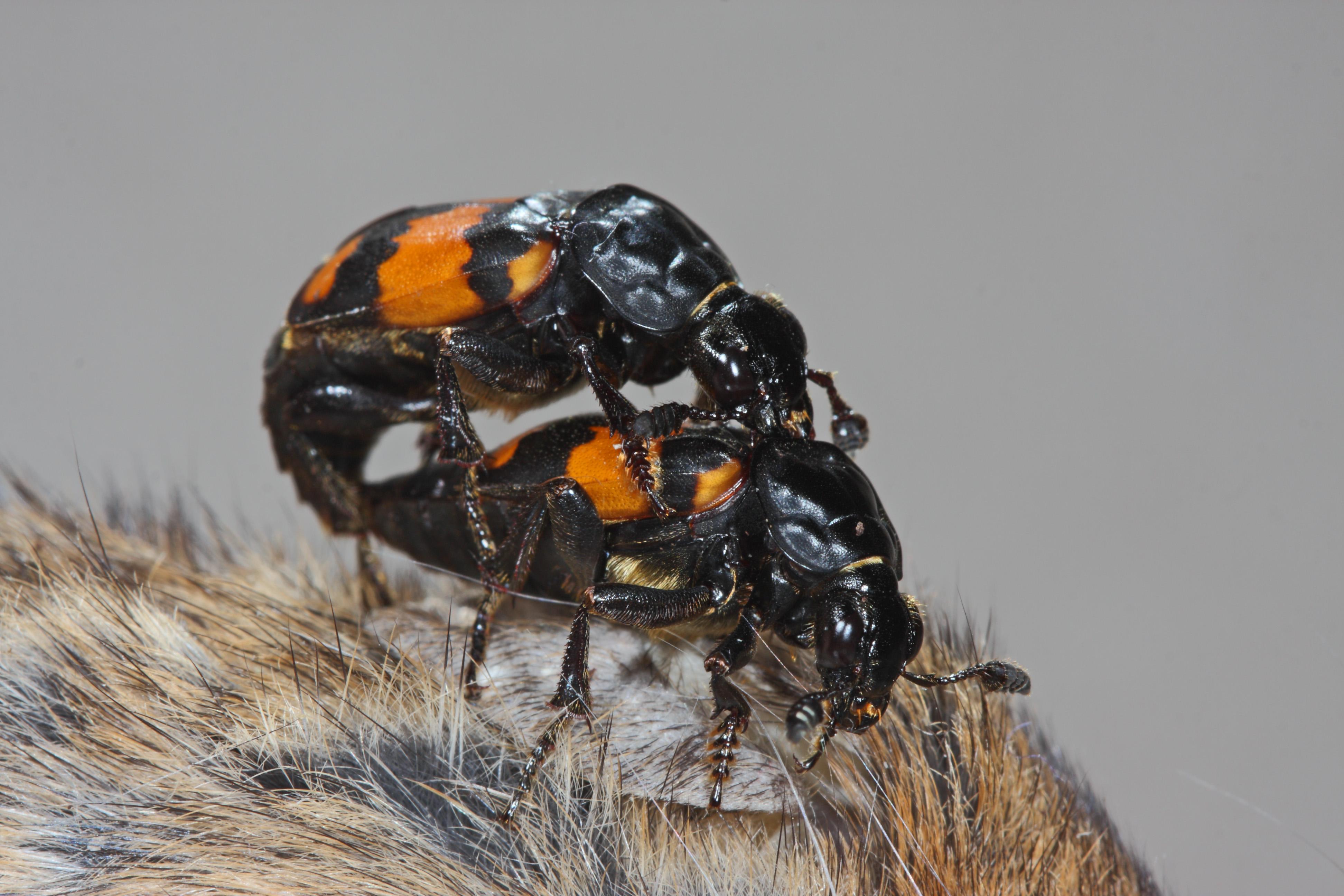 This female beetle uses unsexy pheromones to calm horny dudes