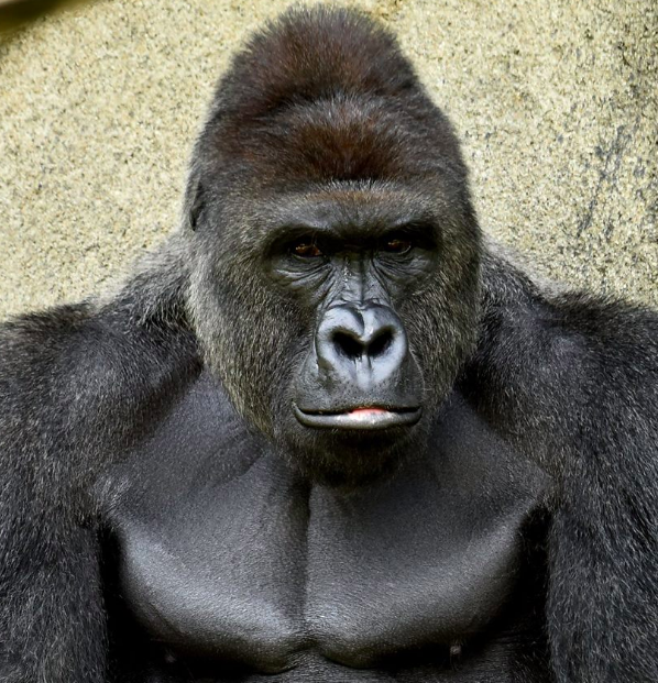 Harambe the gorilla: the zoo killing that's set the internet on fire, explained