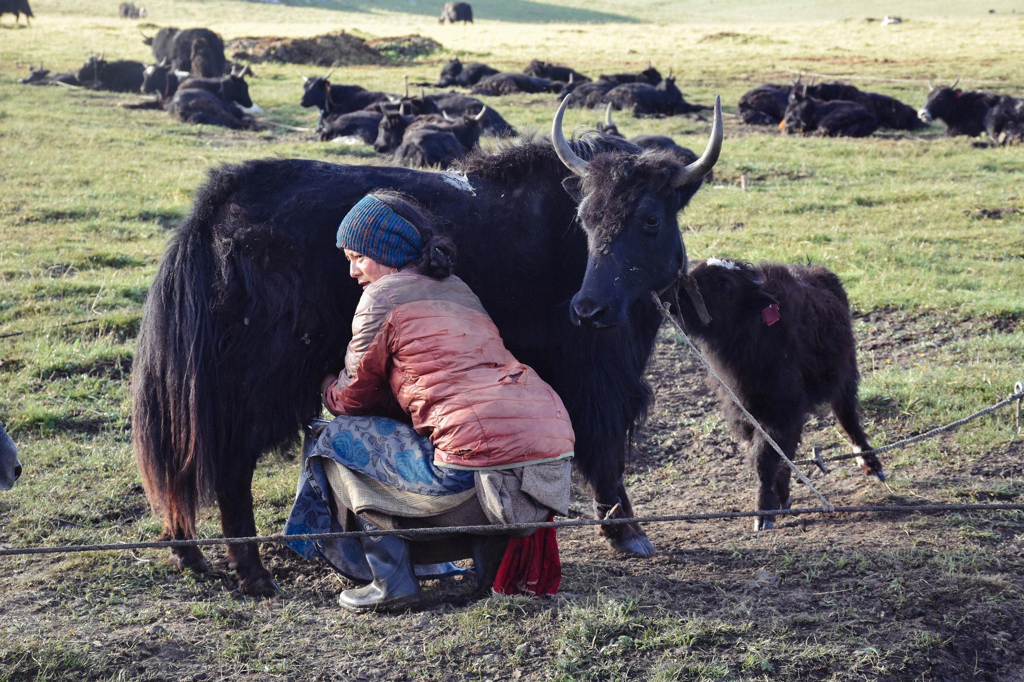 A Tibetan woman milking a yak.