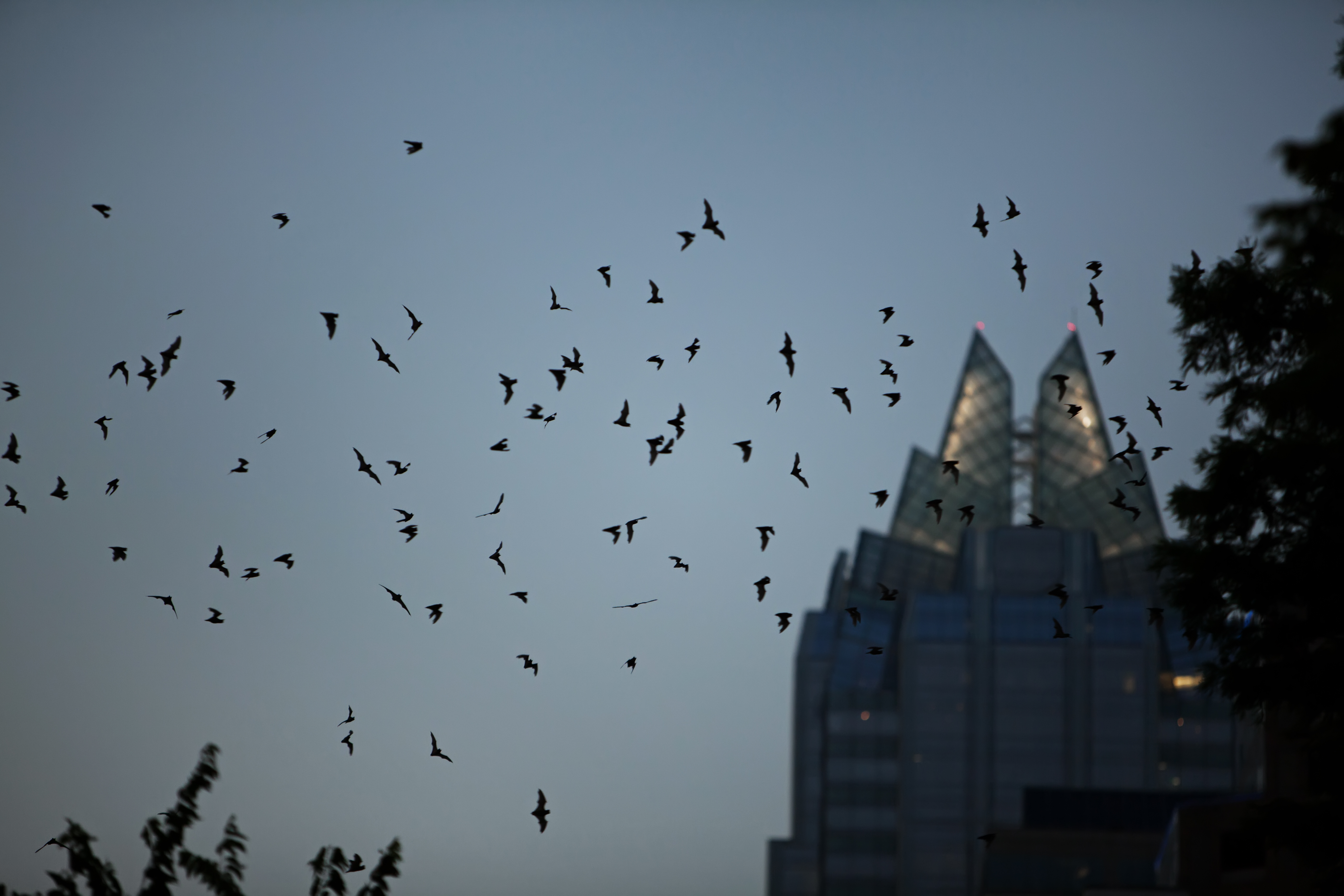 Photograph shot at dusk. Bats are flying around the top of a building with two pointed glass towers on top.