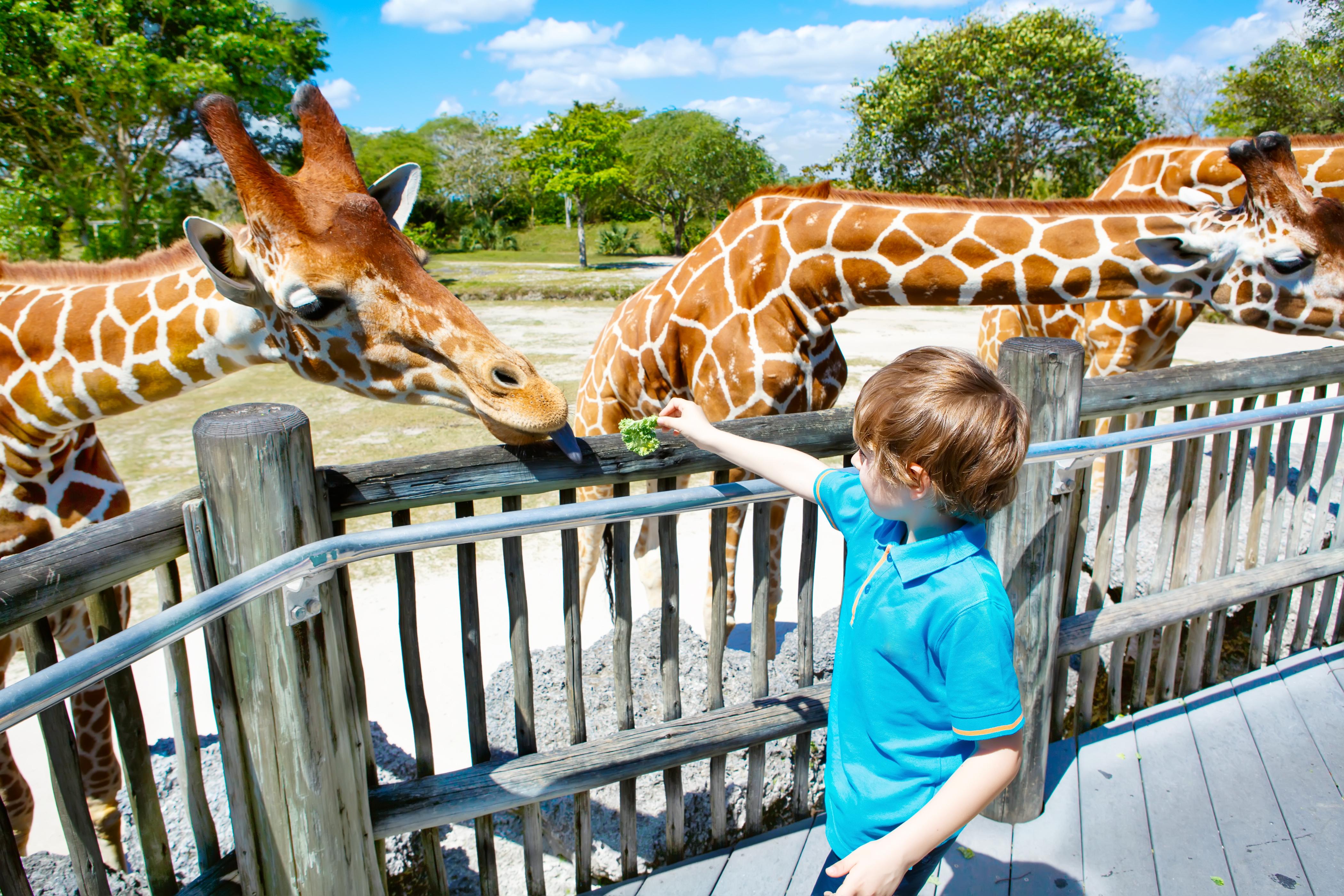 A boy feeds the giraffes at Zoo Miami.