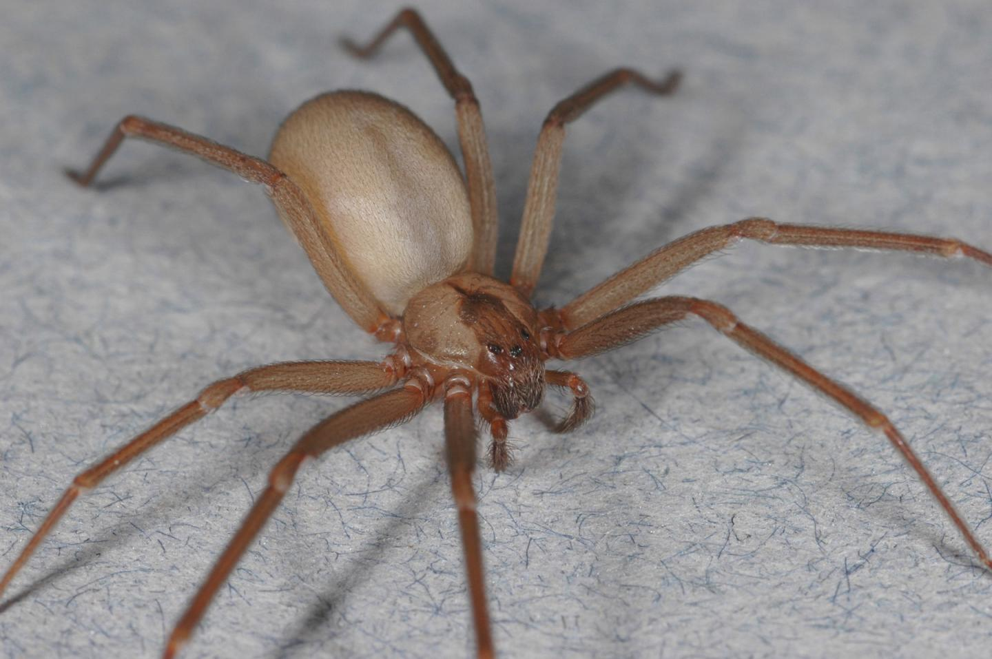 Brown recluse photo by Rick Vetter, UC Riverside