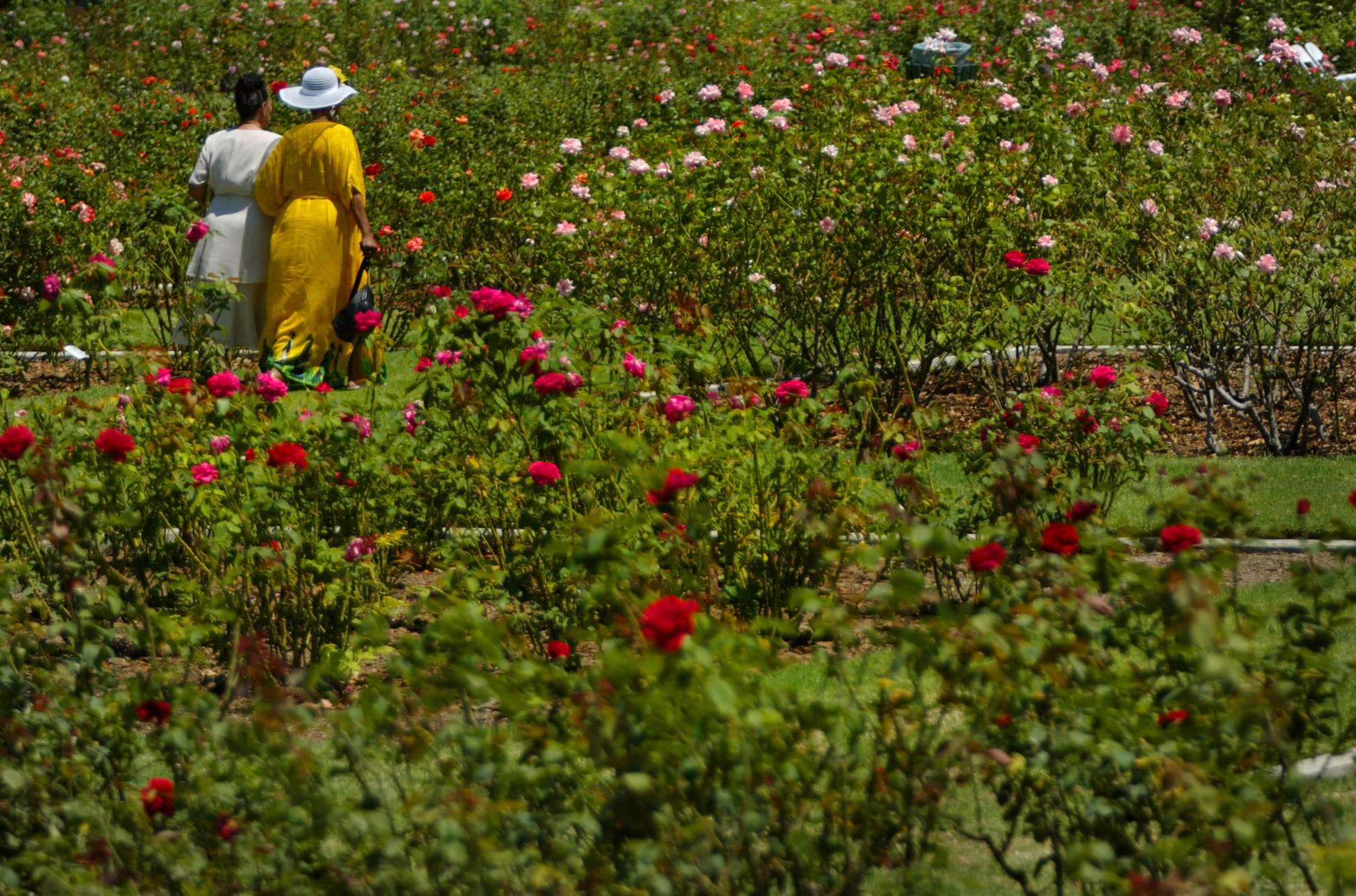 A rose garden with assorted rose varieties. Two people walk on a path in the garden.