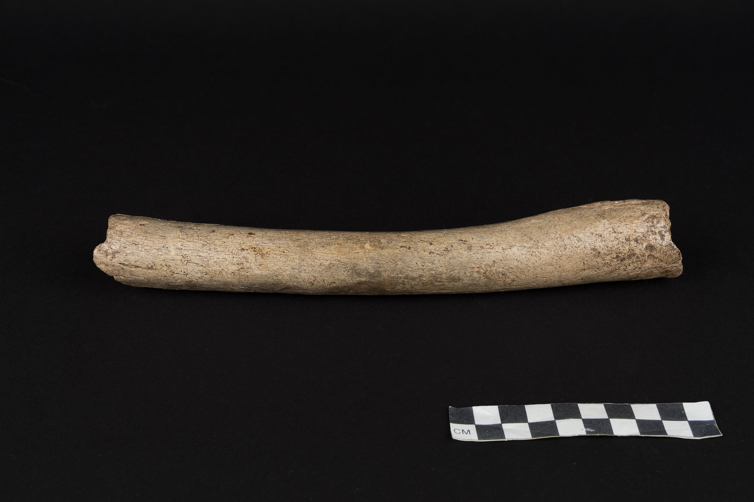 A Neanderthal thigh bone known as the Hohlenstein-Stadel femur, discovered in German in 1937.