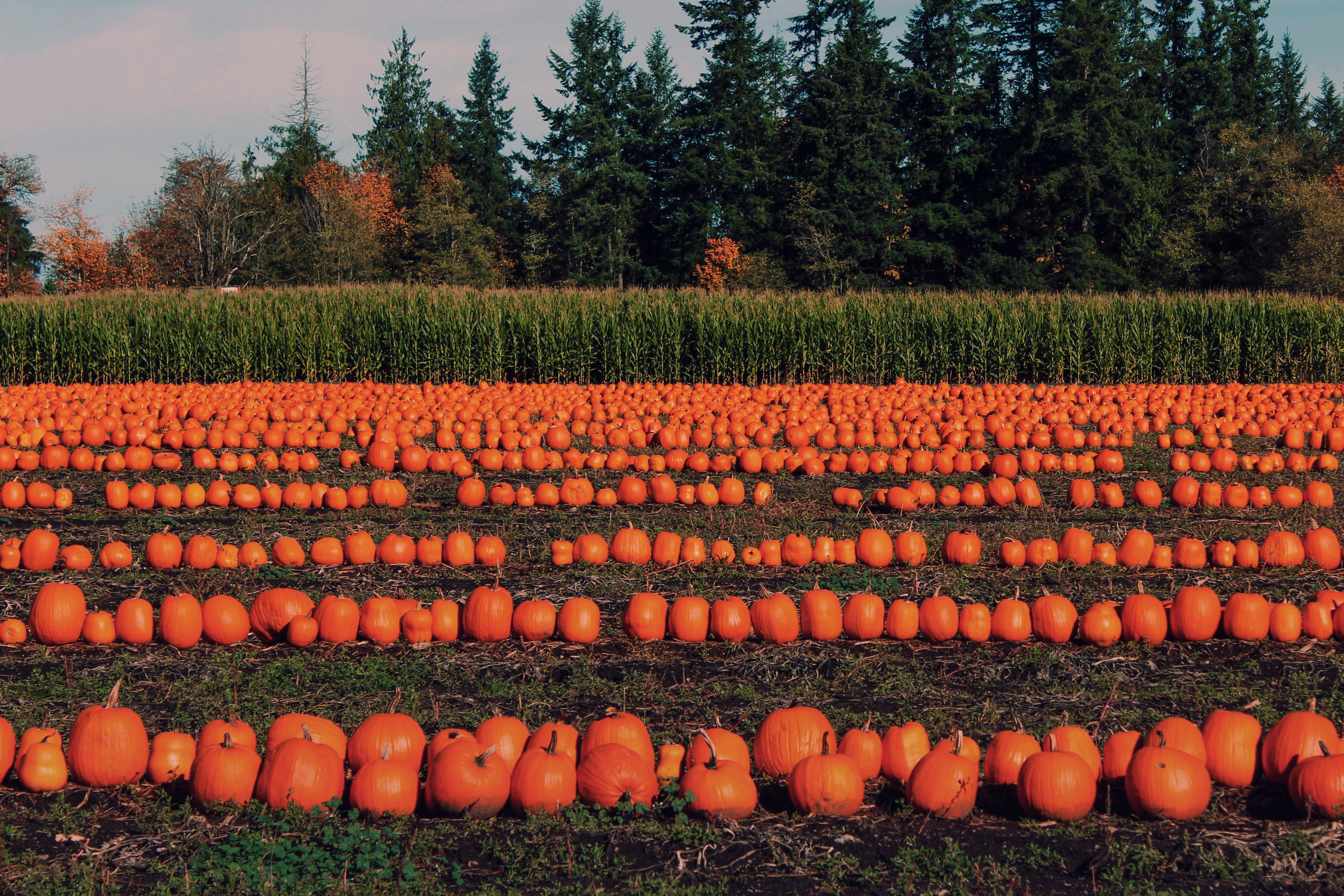 A pumpkin patch in Seattle. There are rows of orange pumpkins in a field. Lining the field are dark green shrubs and trees.