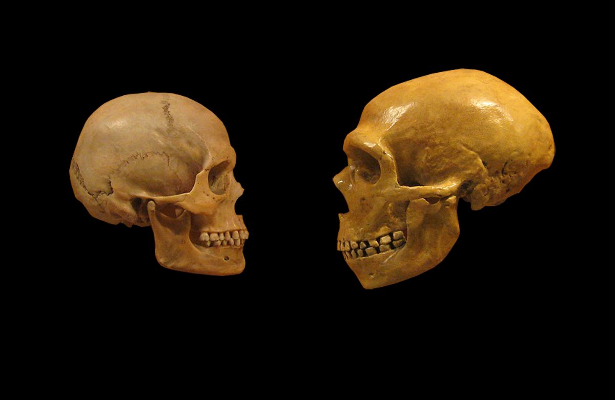 A modern human and a Neanderthal skull facing each other. Photo by hairymuseummat (from the Cleveland Museum of Natural History) modified by DrMikeBaxter/Wikimedia Commons