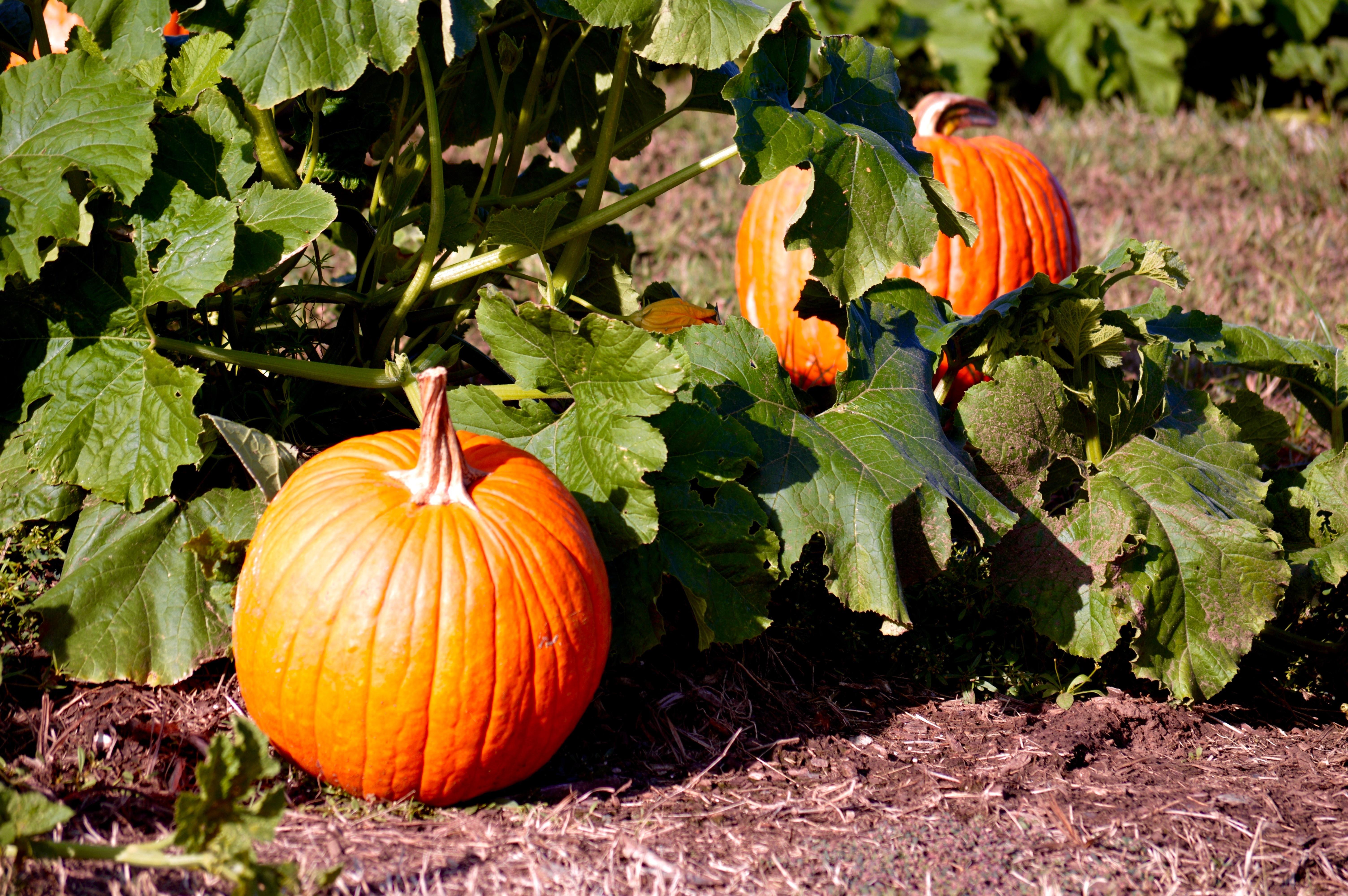 Two pumpkins on vine in field