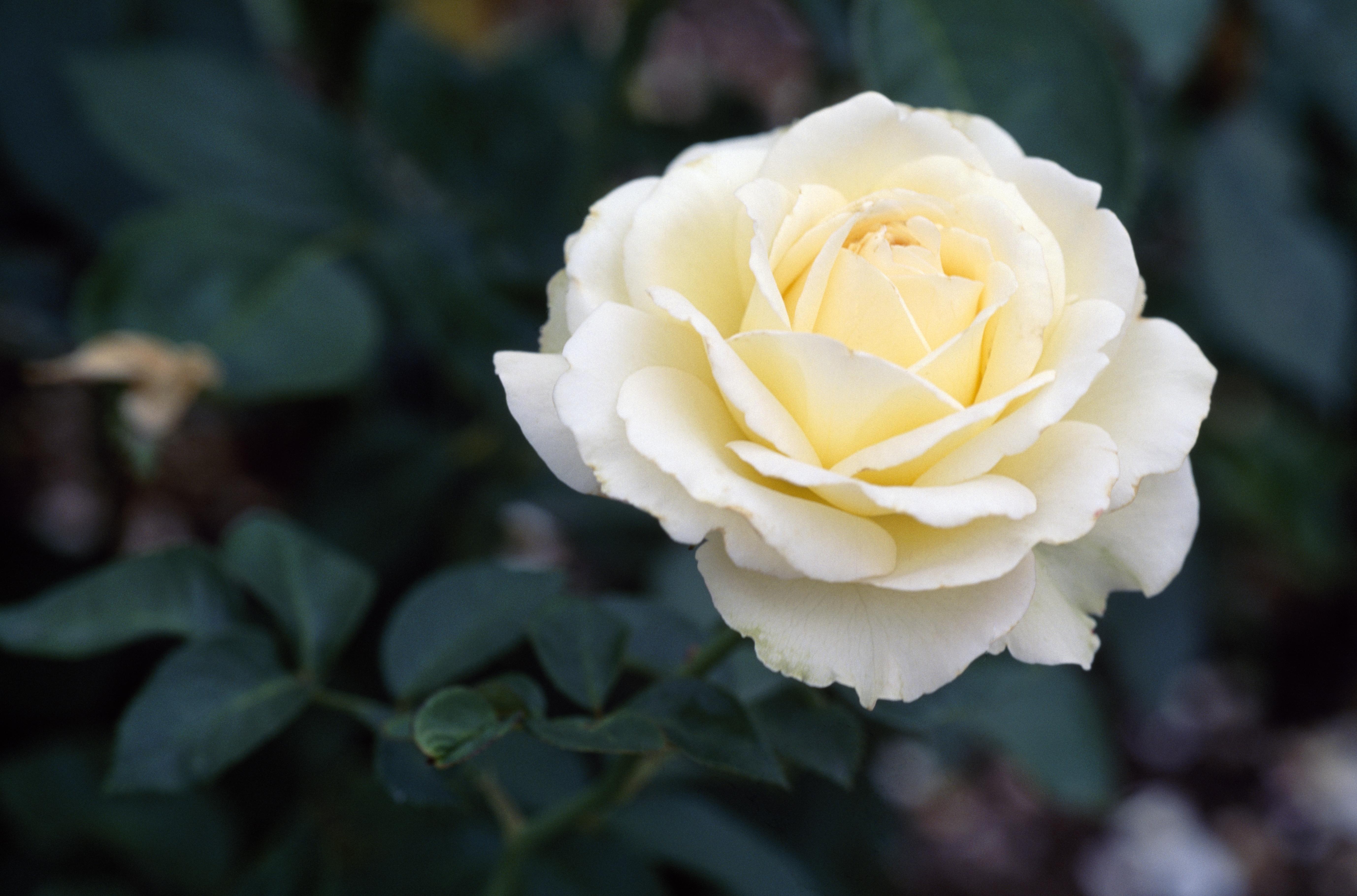 Rose (Rosa Dr John Snow), Rosaceae.