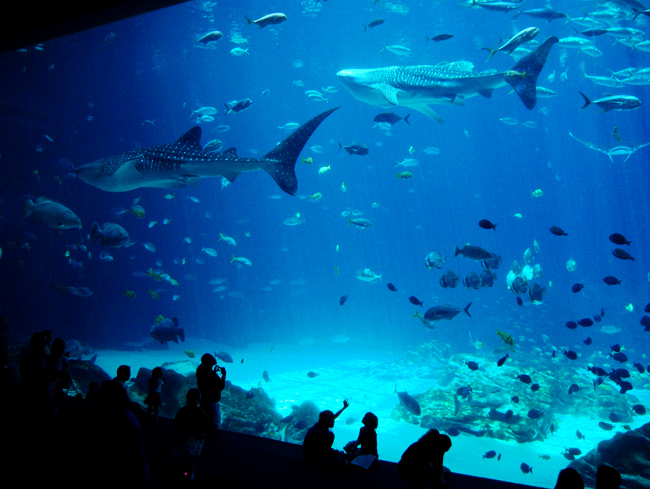 People stand in front of a tall glass window looking into a whale shark tank at the Georgia Aquarium.
