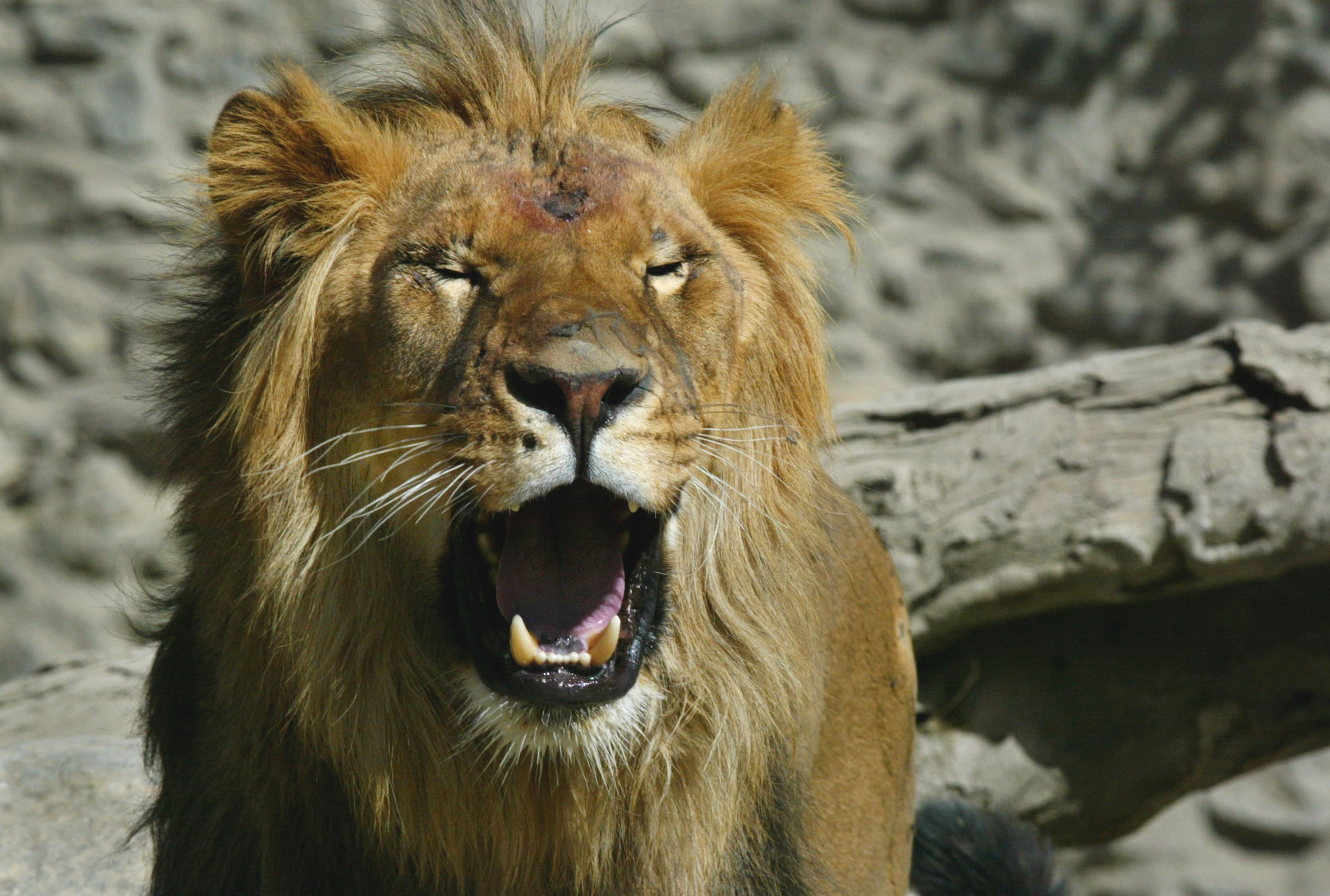 China Donates Lions To Afghan Zoo