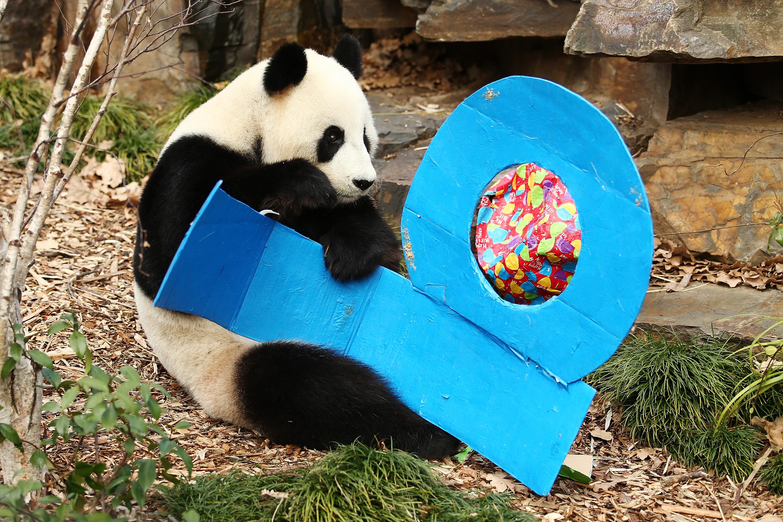Giant Panda Celebrates Birthday At Adelaide Zoo